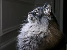 Gorgeous picture of the charming Norwegian Forest cat; my favourite :)