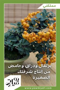 تحتاج زراعة الأشجار المثمرة المقزّمة إلى عناية تختلف عن العناية بها وهي في حجمها الطبيعي، كما تختلف عن العناية بالنباتات الأخرى على شرفتكِ.