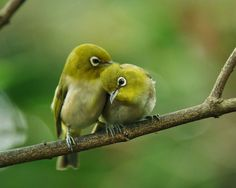 In green company ... the Japanese White-eye (Zosterops japonicus), also known as the mejiro (メジロ, 目白