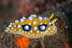 Nudi branch   The yellow one (Phyllidia ocellata)