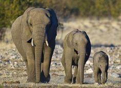 trio of #elephants