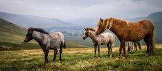 https://flic.kr/p/KLkYSq   Wild ponies on the Brecon Beacons, Wales. #beautiful #wild #horses #ponies #nature #Wales #nature #photography