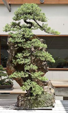 Australian National Bonsai and Penjing Collection - Juniperus Bonsai Garden, Bonsai Trees, Tree Pruning, Miniature Trees, Greenhouse Gardening, Growing Tree, Small Trees, Horticulture, Gardens