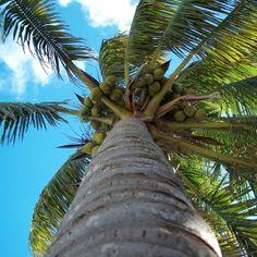 Coconut Palm #Miami