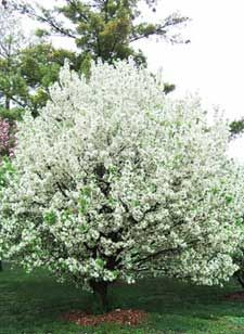 CRABAPPLE CINDERELLA  Think Cinderella If you want a crabapple tree but think your yard doesn't have room for one, take another look at Cinderella. This tiny tree fits almost any landscape, or even container gardens. It has good resistance to apple scab and excellent resistance to fire blight, powder