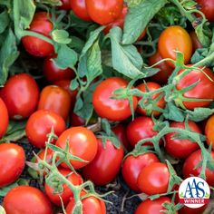 Latest and greatest tomatoes coming your way in Many are All-America Selections winners, chosen because they taste delicious and have other special qualities! Container Gardening, Gardening Tips, Gardening Vegetables, Types Of Tomatoes, Roma Tomatoes, Tomato Cages, Red Tomato, Red Fruit