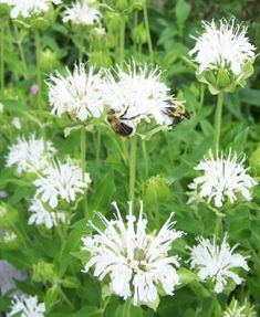 White perrennial - Snow White Bee Balm ( Monarda didyma )