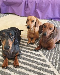 Thai Chi, Miniature Dachshunds, Weenie Dogs, Dachshund Puppies, Puppy Love, Cute Dogs, Sausage Dogs, Miniatures, Daisy