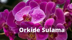 Orkide Sulama - Orkide Nasıl Sulanır? - Orkide Bakımı Rose, Flowers, Plants, Outdoor, Gardening, Outdoors, Pink, Lawn And Garden, Plant