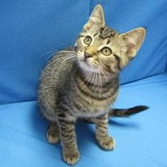 UPDATE: ADOPTED!!!!  -- Darla is an adoptable Tabby - Brown Cat in Springfield, IL. Darla is a sweet little Brown Tabby kitten who came into Animal Control on 1/12. Darla was brought in with her mom and sibling (have their o...