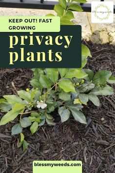 These Plants Create Privacy Faster Than Others Not all plants are the same. Some grow like weeds and Window Plants, Fence Plants, Backyard Plants, Balcony Plants, Outdoor Plants, Full Sun Landscaping, Privacy Landscaping, Low Maintenance Landscaping, Low Maintenance Plants