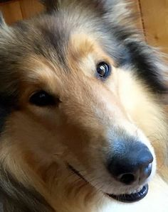 Collie. Typical human-like eyes and expression!  Shows high intelligence, not to mention beautiful!