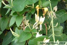 Lonicera japonica 'Halliana' is an evergreen honeysuckle with small trumpets of deliciously scented cream and yellow flowers followed by black berries in the autumn.