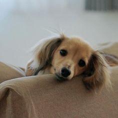 今日は避妊手術です。 送ってきました。 無事を祈るしかありません。 また報告を聞いてくださいね。 . . #モネ#カニンヘン#カニンヘンダックス#カニンヘンダックスフンド#ダックスフンド#ミニチュアダックス#ミニチュアダックスフンド#犬#愛犬#犬のいる暮らし#わんこなしでは生きていけません会 #わんすたぐらむ#短足部#ふわもこ部#kaninchen#kaninchendachshund#dachs#dachshund#dogstagram#instadog#dogslife