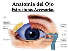 Estructura ojo, vista frontal