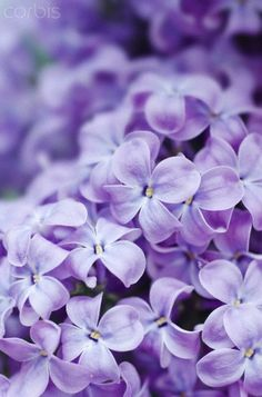 {Reminds me so much of home and fond childhood memories. Love Purple Lilac Flowers!!}<3