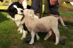 Beau the sheepdog and the pet lamb. Home on the farm | AmJam Eats