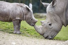 A White Rhino calf was born December 3 at Zoo de Beauval, in France. The young male was born to mom, Satara, and dad, Smoske, and has been given the name Hawii. Check out ZooBorns to learn more and see more! http://www.zooborns.com/zooborns/2016/03/small-but-strong-rhino-calf-debuts-at-zoo-de-beauval.html