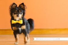 Nothing cuter then a doggy in a bow tie!