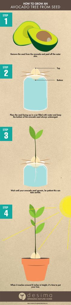HOW TO GROW AN AVOCADO TREE FROM SEED — desima