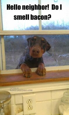 Hello neighbor! Do I smell bacon? - The Dobie who came for breakfast... right through the window screen!