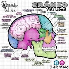 Brain Anatomy, Medical Anatomy, Anatomy Art, Anatomy And Physiology, Medicine Notes, Medicine Student, Paola Rios, Medical Memes, Nurse Art