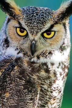 Great Horned Owl by Daniel Hébert