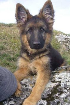 | Lola Babe - adorable puppy. I want a German Shepard for my next dog