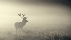 Golden Stag Night - lone red deer stag in the mist..