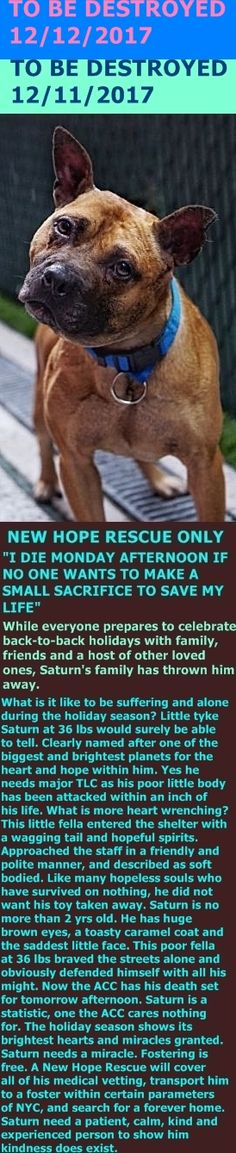 MURDERED 12-12-2017 --- Hello, my name is Saturn. My animal id is #14873. I am a male brown dog at the Manhattan Animal Care Center. The shelter thinks I am about 2 years 1 weeks old.  I came into the shelter as a stray on 28-Nov-2017.  Saturn is being placed at risk due to medical condition. Saturn has been diagnosed with Canine Infectious Respiratory Disease http://nycdogs.urgentpodr.org/saturn-14873/