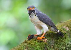 Semi-Plumbeous Hawk eating a bat