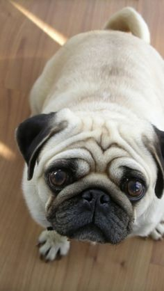 Discover the Pug Dog breed. Learn about the origin, history, personality & care needs of Pug dogs. The Pug, National Dog Show, Pug Wallpaper, Flat Faced Dogs, Dog Skull, Pug Pictures, Halloween Disfraces, Pug Love, Dog Friends