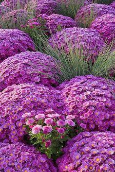 Purple Chrysanthemums, landscaping, landscape design, garden design, gardening, flowers, purple