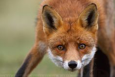 This (wild) fox somehow stumbled upon me and didn't have a clue that I was sitting there. He looked at me, I clicked, and the next thing I saw was a tai. Animal Photography, Nature Photography, Beast Creature, Fox Face, Red Fox, Animals Beautiful, Animal Pictures, Super Cute, Creatures