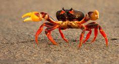 http://www.noozhawk.com/images/uploads/630-Crab-101611.jpg