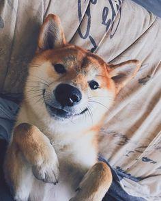 87 отметок «Нравится», 5 комментариев — Kai Shiba Inu (@spasibainu) в Instagram: «Мама говорит, что моя улыбка, самая милая Mom says my smile is the cutest . . . . #smiledog…»