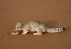 Sand cat feeding on viper - View amazing Sand cat photos - Felis margarita - on Arkive Felis Margarita, Rusty Spotted Cat, Black Footed Cat, Wild Cat Species, Cat Noises, Small Wild Cats, Big Cats, Sand Cat, Owning A Cat