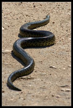 Yellow Anaconda (Eunectes notaeus), Pantanal, Brazil