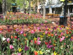 The tulips on Pearl Street in Boulder - I can't wait for spring! Mountain Sunset, University Of Colorado, Boulder Colorado, Street Mall, Oh The Places You'll Go, Rocky Mountains, Bouldering, Illinois, Oasis