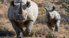 Connected tech aims to protect rhinos from poaching - BBC News