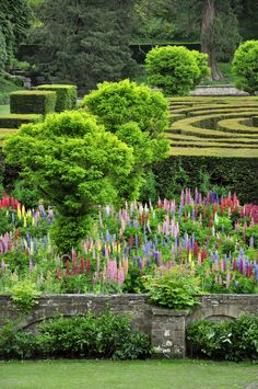 A maze and a Lupin garden at Chatsworth, England. This part of the garden is where a grand conservatory designed by Sir Joseph Paxton once stood. It was built to allow horse and carriage to drive right through it.