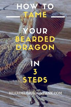 How To Tame Your Bearded Dragon Quickly In 3 Steps - How To Tame Your Bearded Dragon In 3 Simple Steps … - Reptiles, Pet Lizards, Amphibians, Dragon Names, Pet Dragon, Baby Dragon, Dragon Horse, Bearded Dragon Habitat, Bearded Dragon Diet