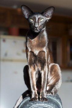Black Oriental Shorthair  Beautiful. by JustLinnea