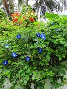 Clitoria Ternatea Vine, 15 Seeds Butterfly Pea, Asian Pigeonwing