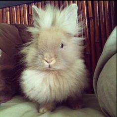 Meet Bambi. She's a lionhead bunny. <3 She's the bunny that made me fall in love with lionheads!