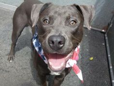TO BE DESTROYED 4/20/14 Manhattan Center -P  My name is TRIWIZARD. My Animal ID # is A0996385. I am a male gray and white pit bull mix. The shelter thinks I am about 1 YEAR   I came in the shelter as a STRAY on 04/11/2014 from NY 10029, owner surrender reason stated was STRAY  https://www.facebook.com/photo.php?fbid=787566594589555&set=a.611290788883804.1073741851.152876678058553&type=3&theater