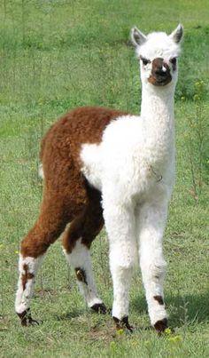 Baby alpacas are so cute! Baby Alpaca, Cute Alpaca, Farm Animals, Animals And Pets, Funny Animals, Cute Animals, Alpacas, Llama Pictures, Animal Pictures