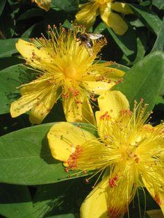 Jerusalem Star & Aaron's Beard (Hypericum calycinum )