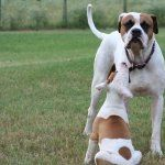American Bulldog free wallpapers