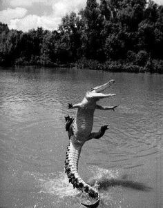 Happiest alligator in history. Never thought I'd see an alligator smile! :) (Actually looks more like a crocodile to me) Smiling Animals, Happy Animals, Cute Baby Animals, Animals And Pets, Funny Animals, Crazy Animals, Funny Lizards, Dancing Animals, Wild Animals